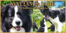 Wylian & Jade Border Collie Österreich